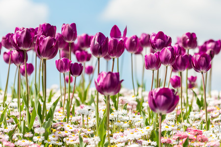 Purple Tulips And White Daisies Field On Blue Sky photo