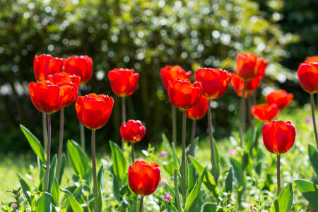 Red Tulips Blossom In Public Park photo