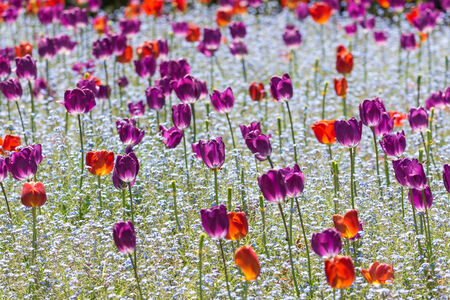 Red And Purple Tulips Field In Springtime photo