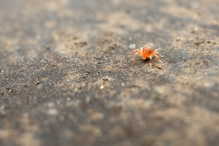 One Millimeter Long Red Baby Spider Stock Photo - 28913103