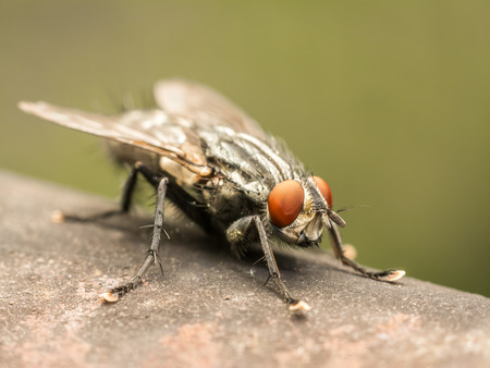 housefly: The Common Housefly  Musca Domestica  is one of the most widely distributed insects, found all over the world and it is considered a pest that can carry serious diseases  Stock Photo