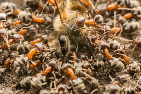 hormiga hoja: Hormigas Swarm Comer Dead Bee
