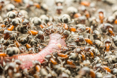 Swarm Of Ants Eating Earthworm Macro Close Up photo