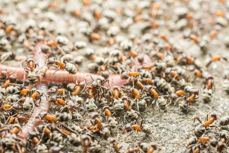 Swarm Of Ants Eating Earthworm Macro Close Up photo