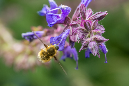 The Large Bee-Fly  Bombylius Major  Gathers Flower Pollen photo