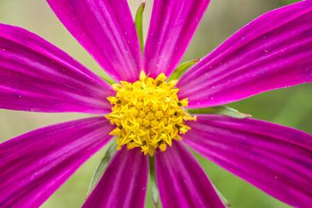 pink daisy: Summer Pink Daisy Flower Close Up Stock Photo