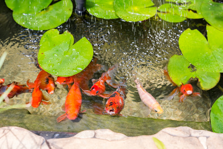 Goldfish In Natural Pond Close Up photo