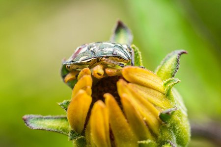 Shield Bug Sitting On Yellow Flower Close Up photo