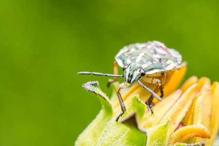 Shield Bug Sitting On Yellow Flower Close Up photo