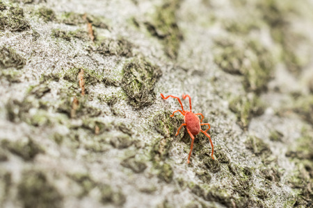 terciopelo rojo: Red Velvet Mite de primer plano