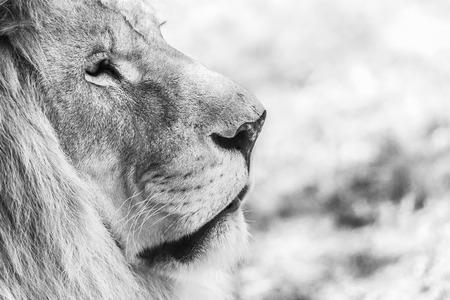 male lion: Black And White Lion Portrait