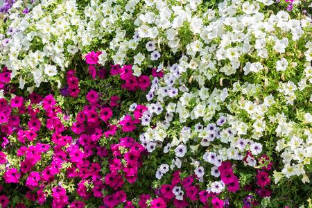 Purple And White Petunia Flowers Summer Blossom photo