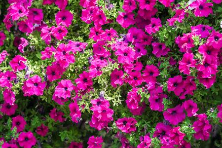 Purple Petunia Flowers Summer Blossom photo