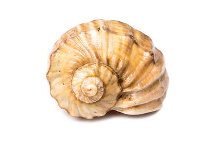 Overzeese Shell Die Op Wit