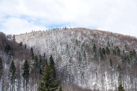 Carpathian Tree Forest Covered With Winter Snow photo