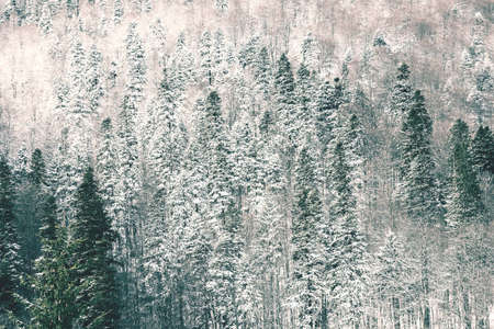 Vintage Photo Of Virgin Carpathian Tree Forest Covered With Winter Snow photo