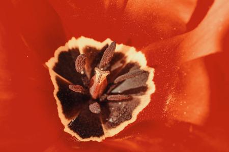 springtime: Retro Red Tulip Inside Macro In Springtime Stock Photo