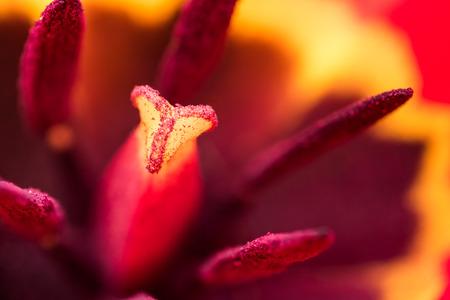 springtime: Red Tulip Inside Macro In Springtime