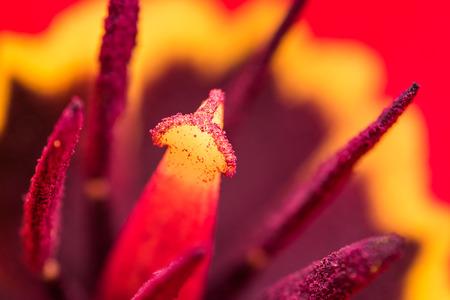 red tulip: Red Tulip Inside Macro In Springtime
