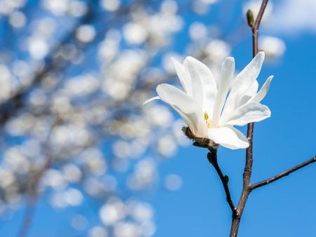 White Magnolia Flowers In Spring Against Blue Sky