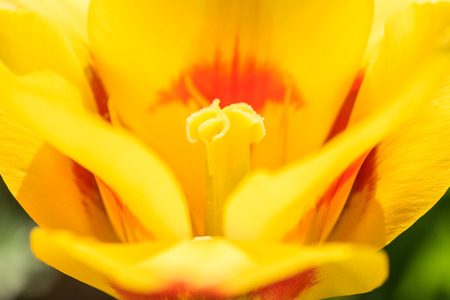 Yellow Tulip Flower Inside Macro photo