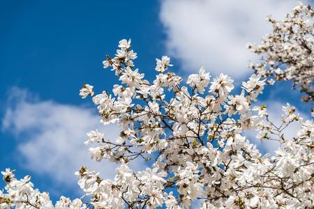 Witte magnolia bloemen in de lente