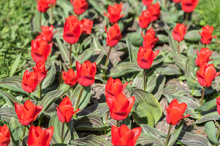 Red Tulips Field In Springtime photo