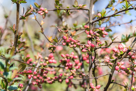 tree branches: Spring Tree Branches And Buds Blossom Stock Photo