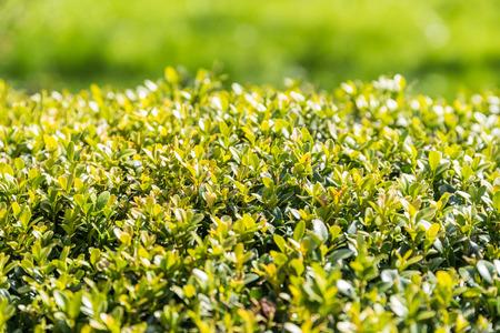 Fresh Laurel Bush Leaves In Spring photo