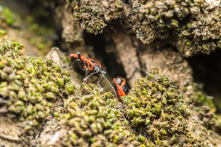 graphosoma: Shield Bug Graphosoma Lineatum also known as the Italian StripedBug and Minstrel Bug.