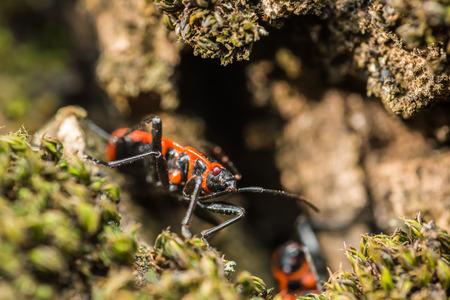 Shield Bug Graphosoma Lineatum also known as the Italian StripedBug and Minstrel Bug. photo