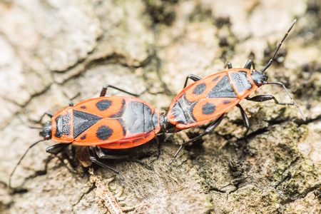 graphosoma: Shield Bug Graphosoma Lineatum Mating Close Up