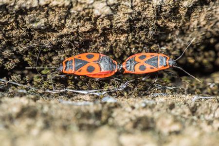 graphosoma: Shield Bug Graphosoma Lineatum Mating Close Up