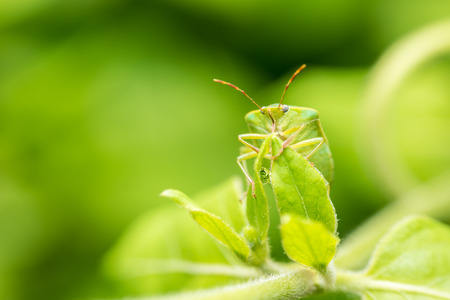 lineatum: Green Shield Bug Insect Macro Stock Photo