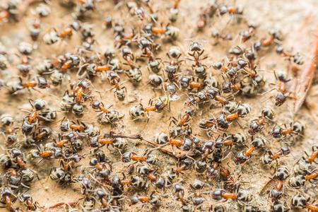 hormiga: Enjambre colonia de hormigas en busca de alimento Foto de archivo
