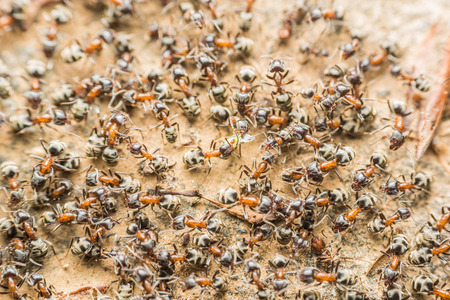 ants: Swarm Colony Of Ants Searching For Food Stock Photo