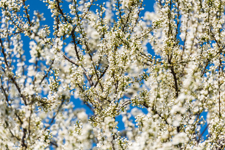 tree branches: Spring Blossom Tree Branches With White Flowers Stock Photo