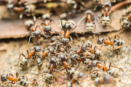 Swarm Colony Of Ants Searching For Food Stock Photo