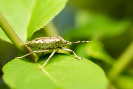 lineatum: Shield Bug Insect Macro On Green Leaves