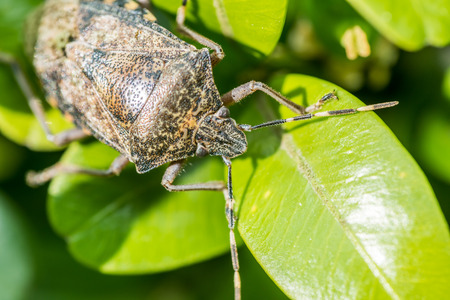 Shield Bug Insect Macro On Green Leaves photo