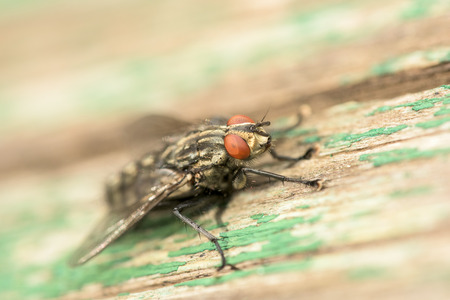 filth: Common House Fly Musca Domestica Macro On Green Wood