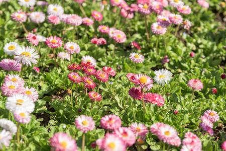 pink daisy: Pink Daisy Field Blossom In Spring