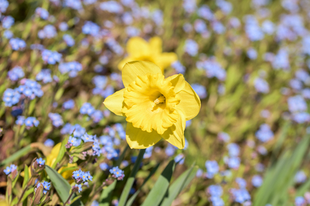 springtime: Narcissus Flower In Fresh Green Springtime Grass Stock Photo