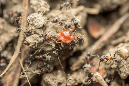 ant: Swarm Of Ants Eating Insect Macro Close Up