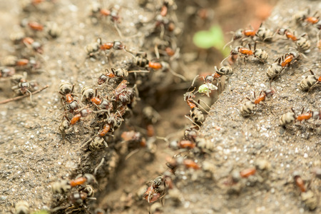 red ant: Swarm Of Ants Passing Food Over Abyss Macro Stock Photo