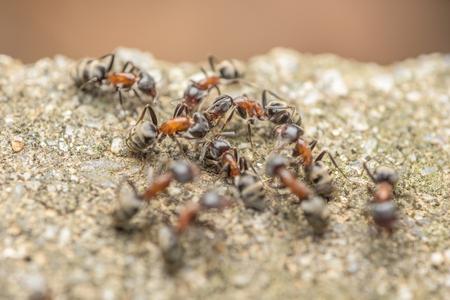 hormiga: Enjambre De Hormigas Fights For Food