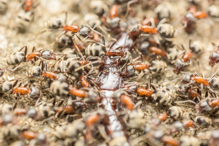 swarm: Swarm Of Ants Eating Giant Centipede Macro Stock Photo
