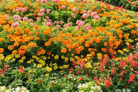 geranium color: Common Flower Garden In Spring