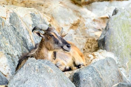 mountain goat: Mountain Goat Portrait