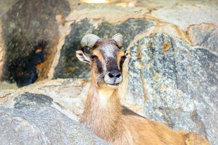 mouflon: Mountain Goat Portrait